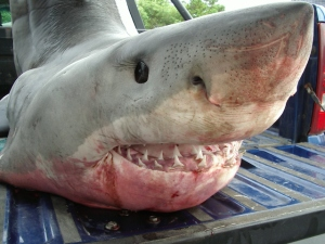 GREAT WHITE BROUGHT BACK TO DEPOE BAY. (OREGON STATE POLICE)