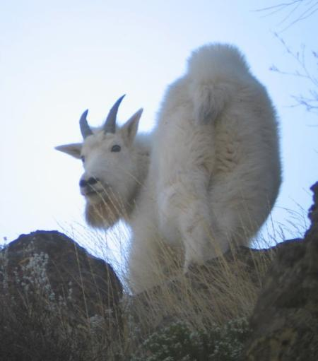 WHO KNOWS WHERE THIS GOAT WILL END UP. IT WAS BORN IN OREGON'S ELKHORNS, EMIGRATED TO THE DALLES, AND WAS LAST SPOTTED IN WASHINGTON'S SOUTHERN CASCADES. (KEITH KOHL, ODFW)