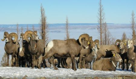 """I WONDER WHAT'S OVER THERE,"" BIGHORN RAM 05LO25 (THIRD FROM LEFT) SEEMS TO BE SAYING. (ODFW)"